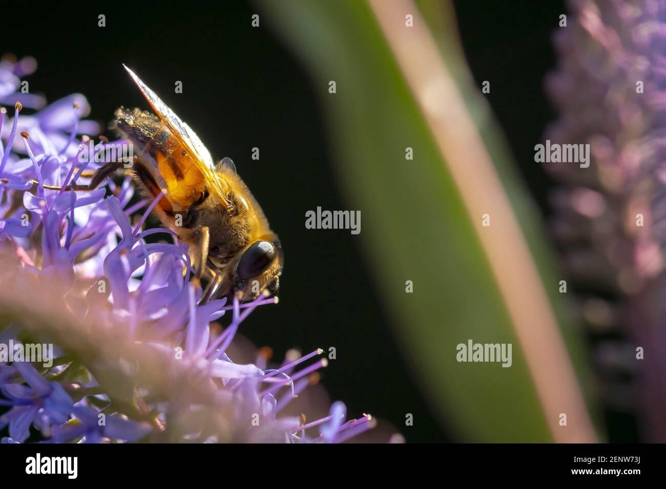 Cierre de una abeja de miel occidental o una abeja de miel europea APIs mellifera néctar de alimentación de flores púrpura Foto de stock