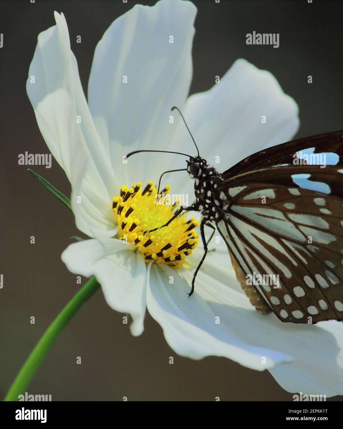la mariposa azul tigre o tirumala limniace es chupar néctar de flor cosmos, jardín de mariposas en bengala occidental, india Foto de stock