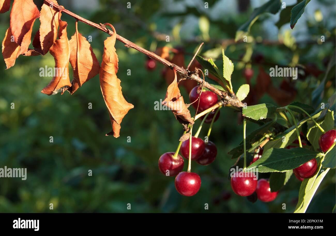 Enfermedades de los cerezos. Corsón de la hoja de cereza. Erwinia amylovora. Las bacterias peligrosas infectan las hojas. Problemas con el huerto. Falla de cosecha Foto de stock