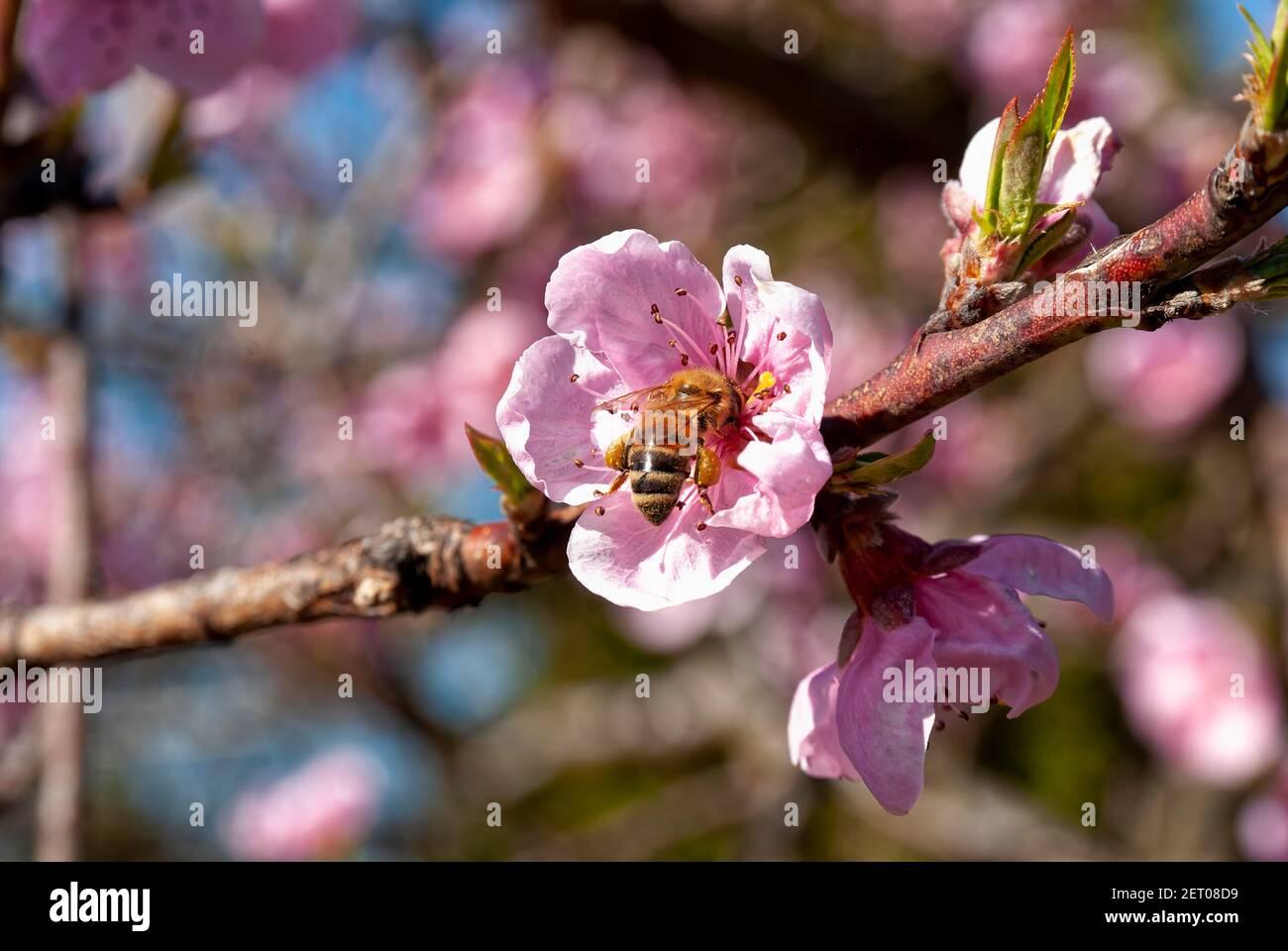 Abeja de miel Carniolan en funcionamiento (Apis mellifera carnica), flor de melocotón. Foto de stock