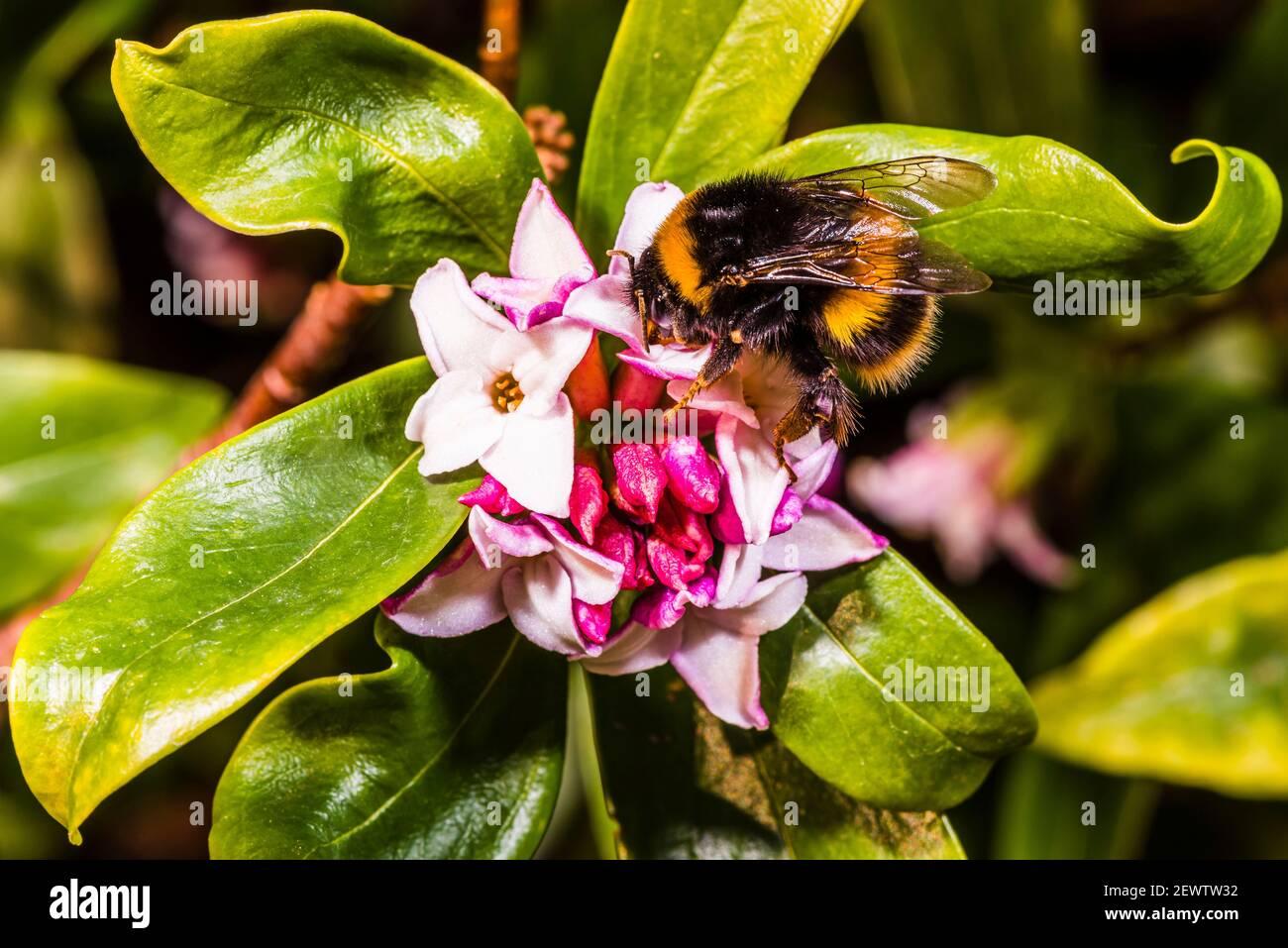 Primer plano de un abejorro en una odora Daphne en un jardín de primavera del norte de Londres, Londres, Reino Unido Foto de stock