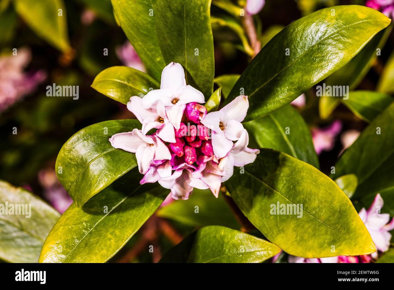 Primer plano de una cabeza de flor Daphne odora en un jardín del norte de Londres, Londres, Reino Unido Foto de stock