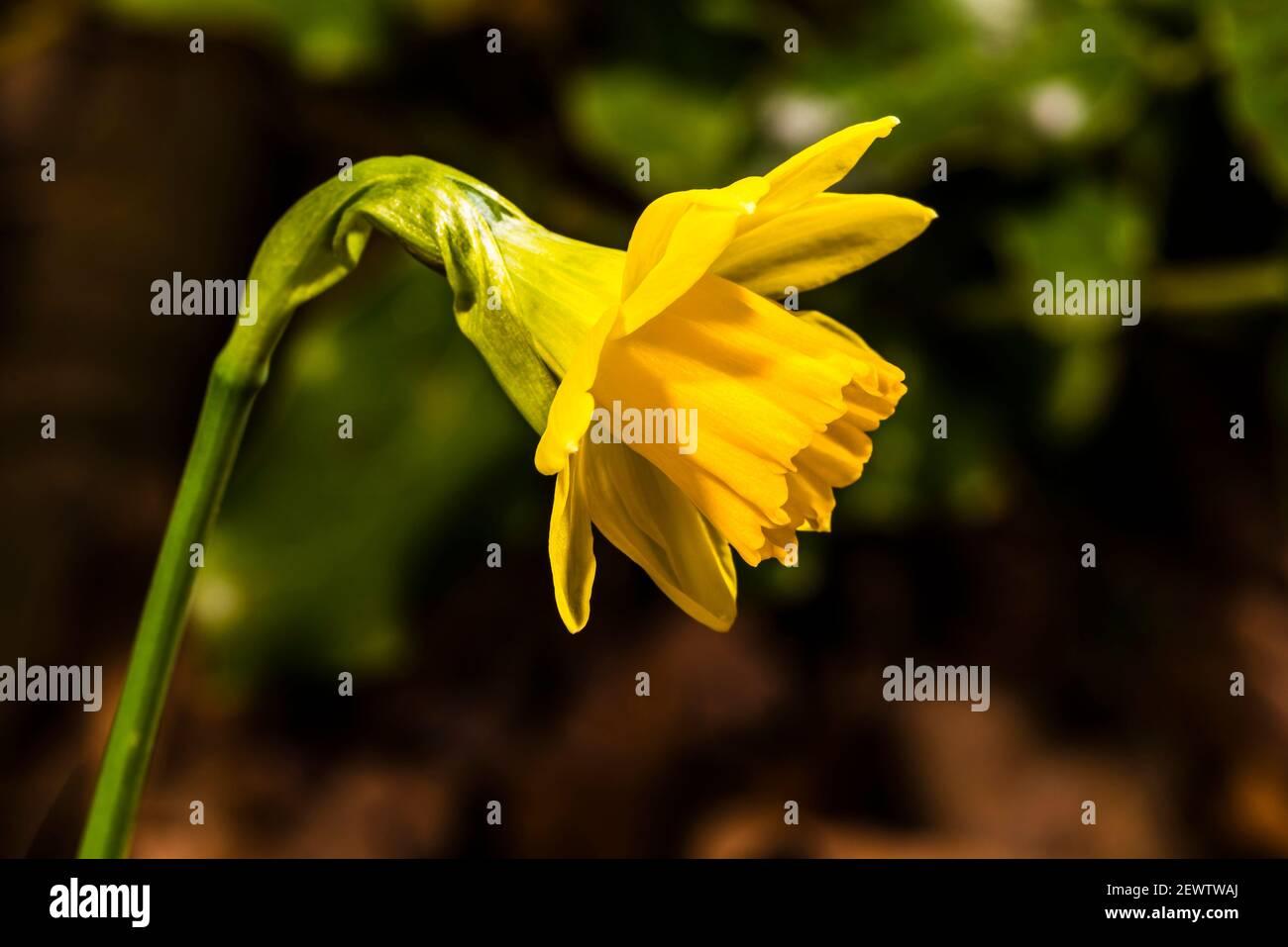 Primer plano de un daffodil enano de finales de invierno en el norte de Londres, Reino Unido Foto de stock
