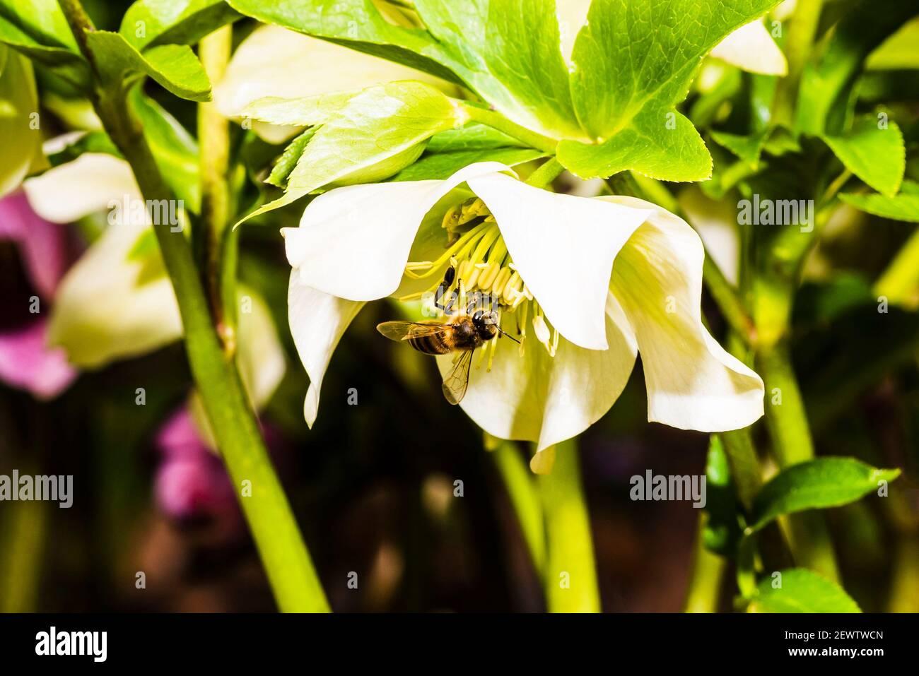 Primer plano de una abeja de miel en un Hellebore en un jardín del norte de Londres, Londres, Reino Unido Foto de stock