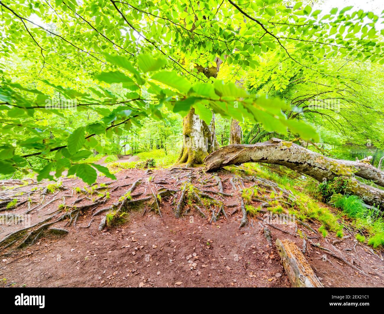 Parque nacional de los lagos de Plitvice prominentes raíces arbóreas visibles en el suelo sobresalir a través de la superficie de la tierra bajo el dosel del follaje Foto de stock