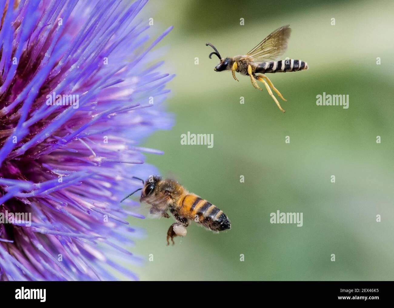 Gran abeja de surco (Halictus scabiosae) y abeja de miel (Apis mellifera) en vuelo, polinizadores en Artichoke (Cynara scolymus), Jardin des Plantes, Foto de stock