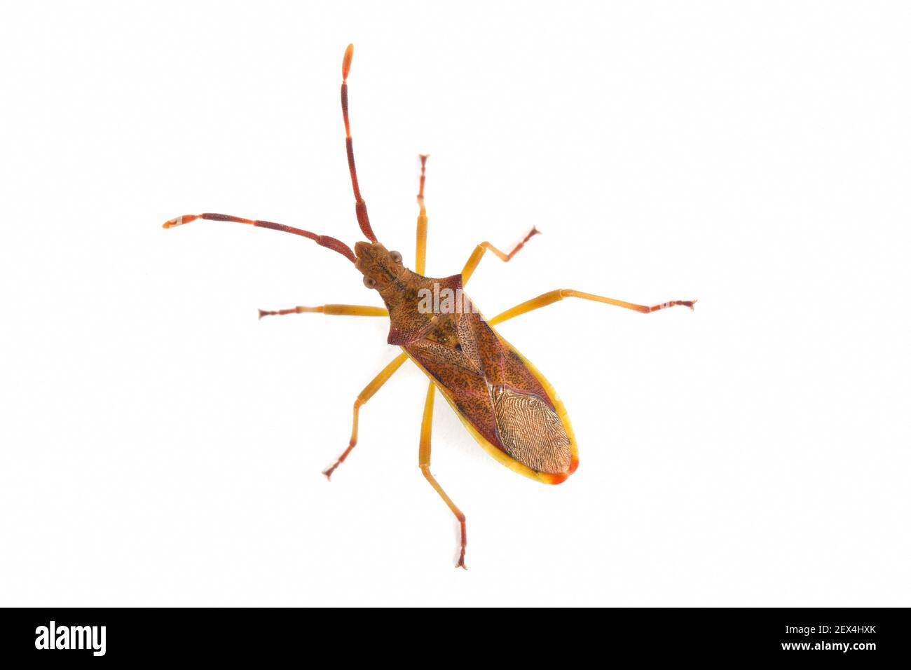 Juniper Bug (Gonocerus juniperi) sobre fondo blanco, Vaucluse, Provenza, Francia Foto de stock