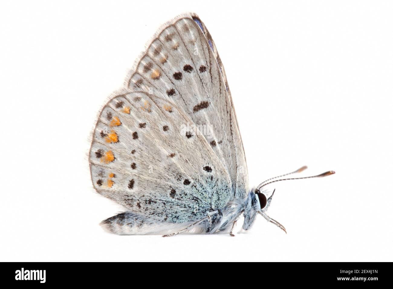 Azul común (Polyommatus icarus) sobre fondo blanco, Homme mort pass, Drome, Provenza, Francia Foto de stock
