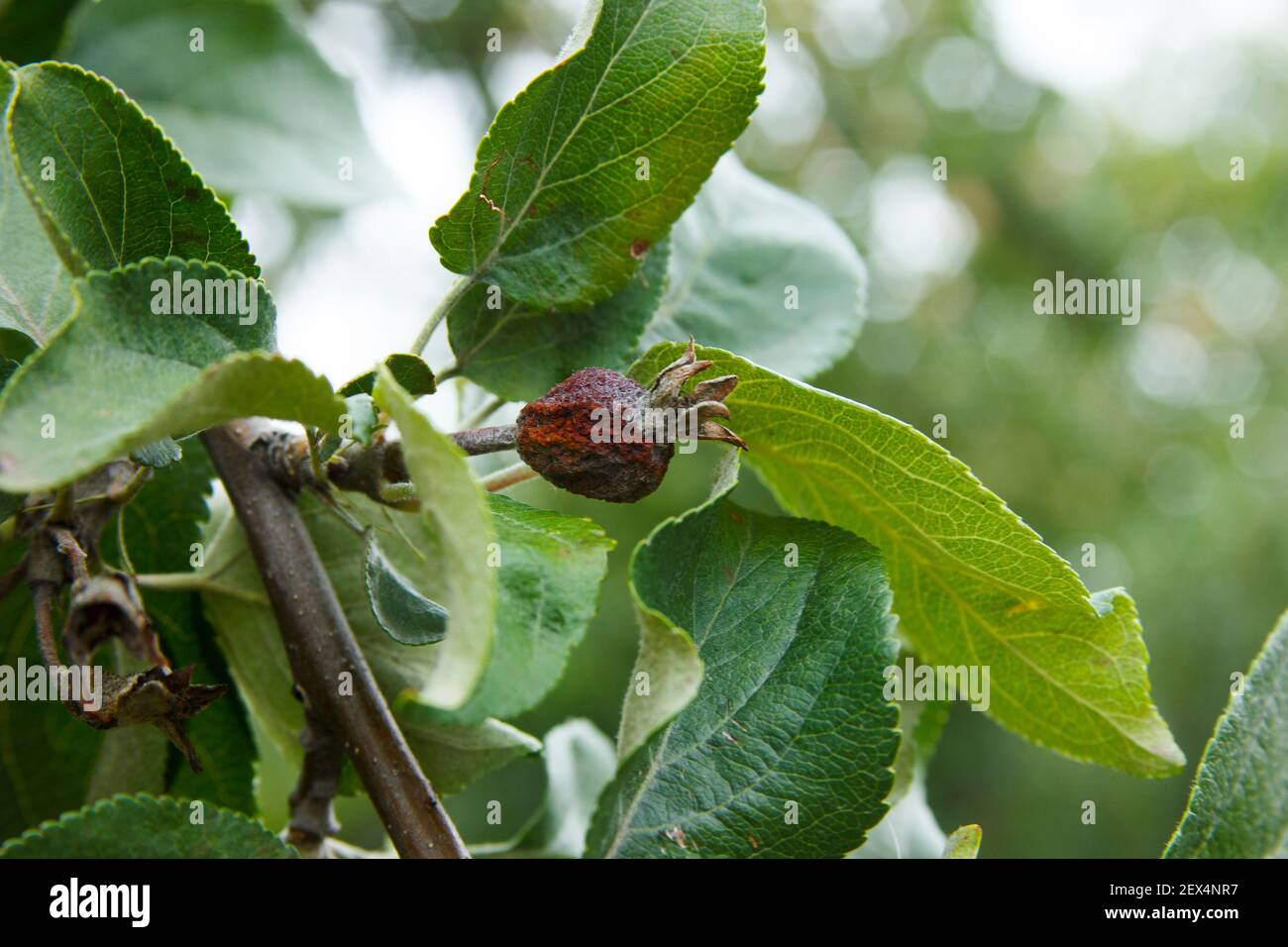 Enfermedades del manzano. Ovario de manzana muerto en la rama. Antracnosis en las hojas. Problemas agrícolas. Enfermedad de la huerta Foto de stock