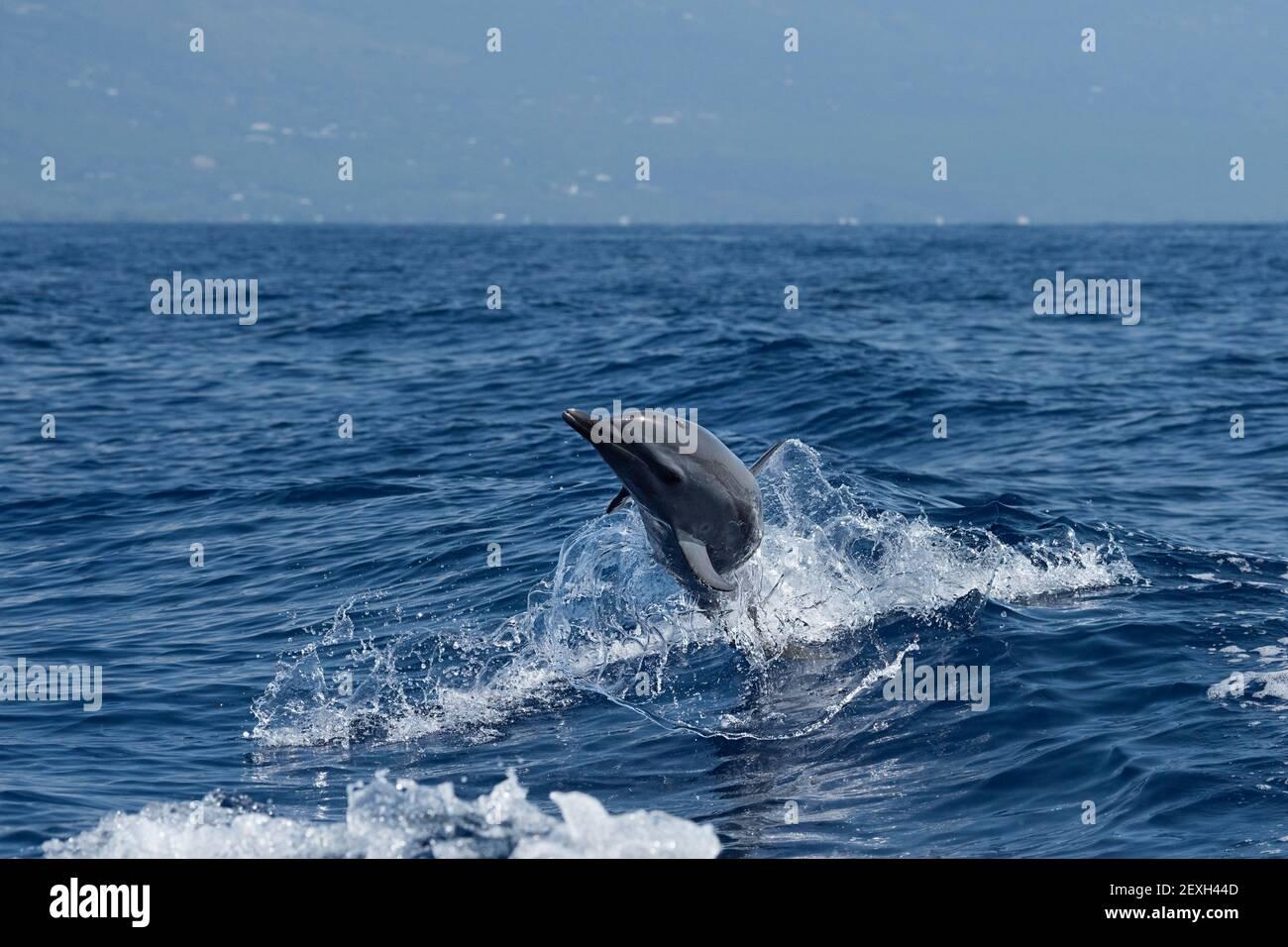 Delfín manchado pantropical, Stenella attenuata, saltando y girando en una estela de barco, flings de una hoja de 'hula skirt' de agua, South Kona, Hawaii Foto de stock