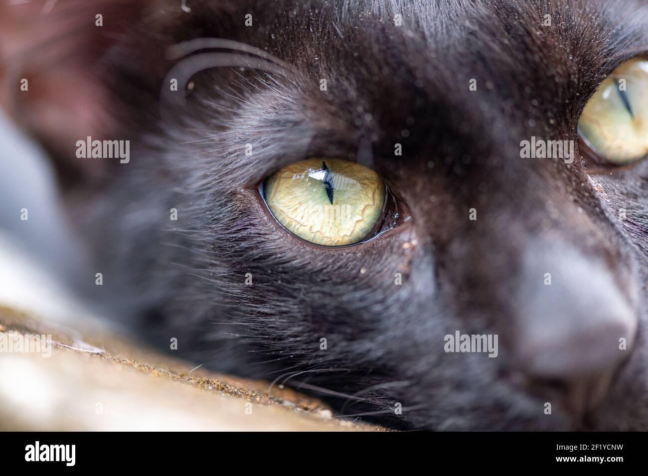 Primer plano de gato doméstico negro con ojos agudos en un día soleado Foto de stock