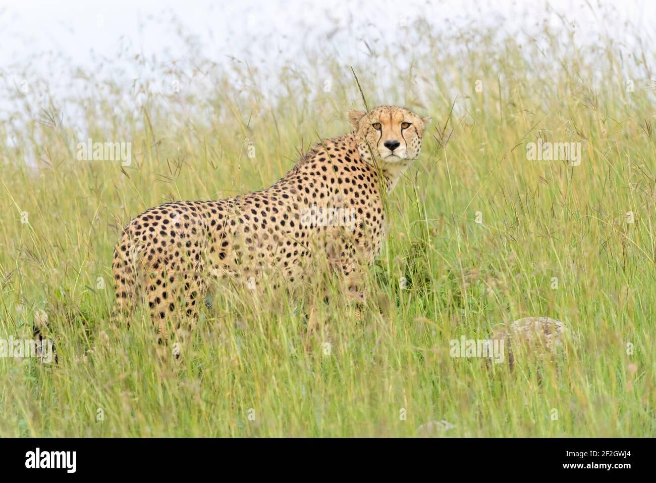 Cheetah (Acinonyx jubatus) de pie en hierba alta, mirando alrededor, Reserva Nacional Masai Mara, Kenia, África Foto de stock