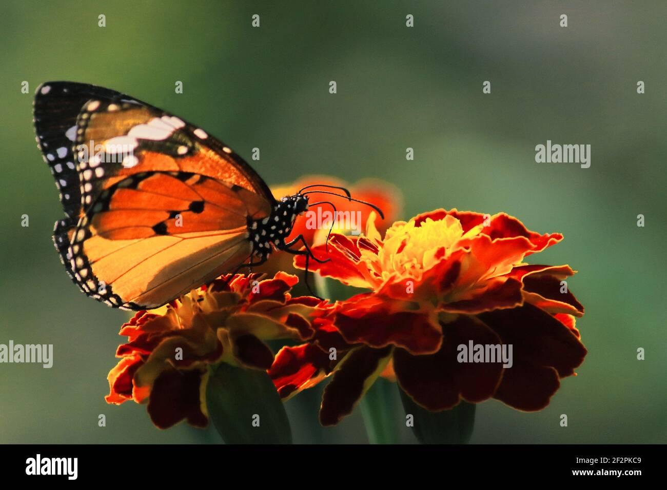el tigre llano hermoso o la reina africana o la mariposa monarca africana (danaus chrysippus) está recogiendo el néctar de las flores, jardín de la mariposa en la india Foto de stock