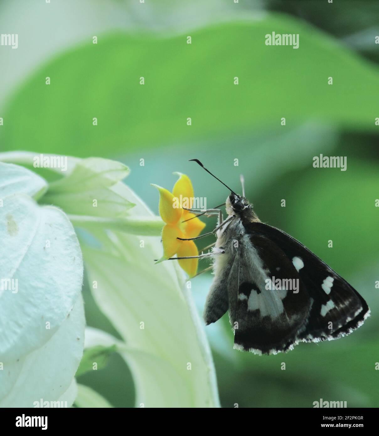 la mariposa del demonio de la hierba o el folus de udaspes está recogiendo néctars de la flor y ayuda a la polinización Foto de stock