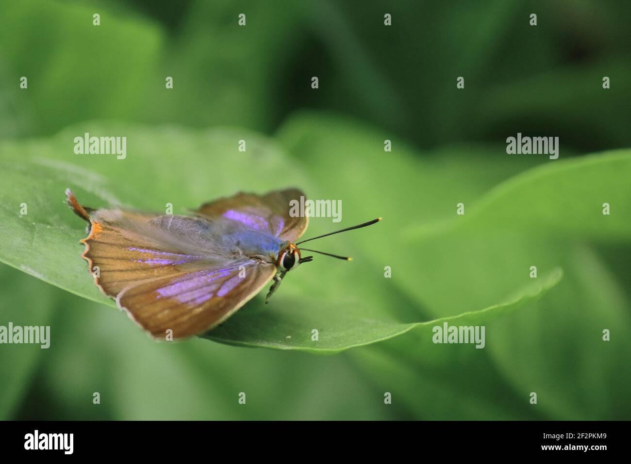 mariposa aberrante de color azul marino o aberrante de color azul silvestre (arhopala abseus) en una hoja verde, en un bosque lluvioso en bengala occidental, india Foto de stock