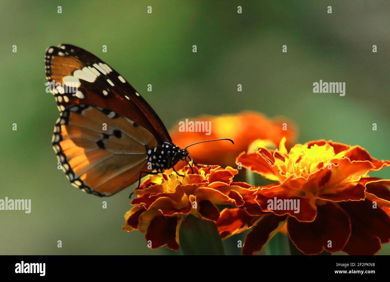 una mariposa femenina de tigre liso o reina africana o monarca africano (danaus chrysippus) está chupar néctar de flores, jardín de mariposas en bengala occidental Foto de stock