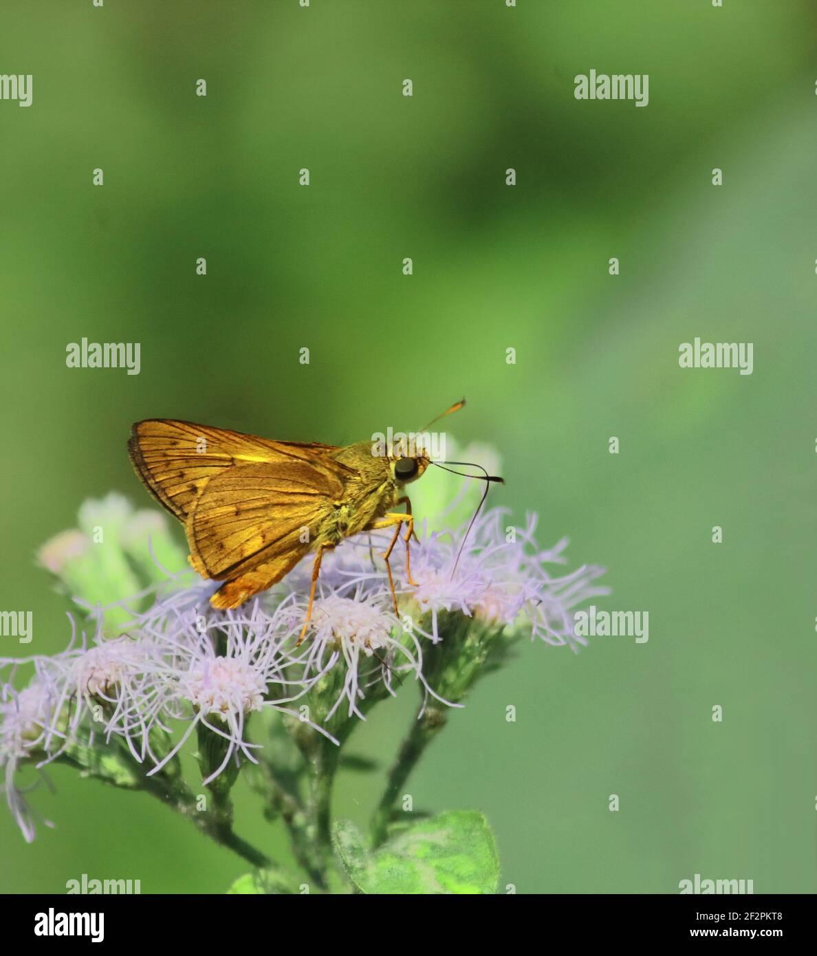 el cefrenes acalle o mariposa de dardo de palma lisa está recolectando néctar y ayuda a la polinización, selva tropical en la india Foto de stock