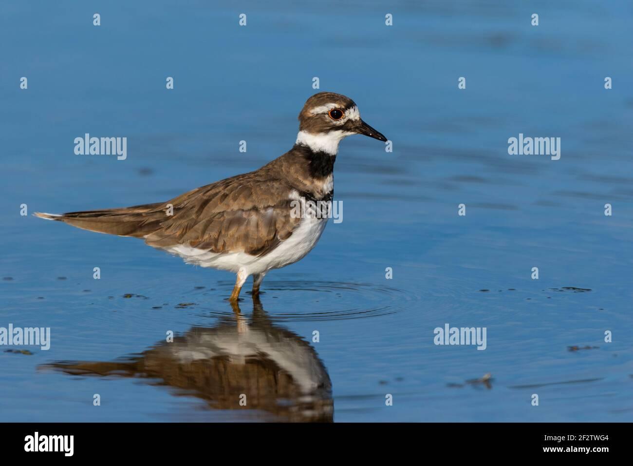 00895-02204 Killdeer (Charadrius vociferus) alimentándose en el humedal Marion Co. IL Foto de stock