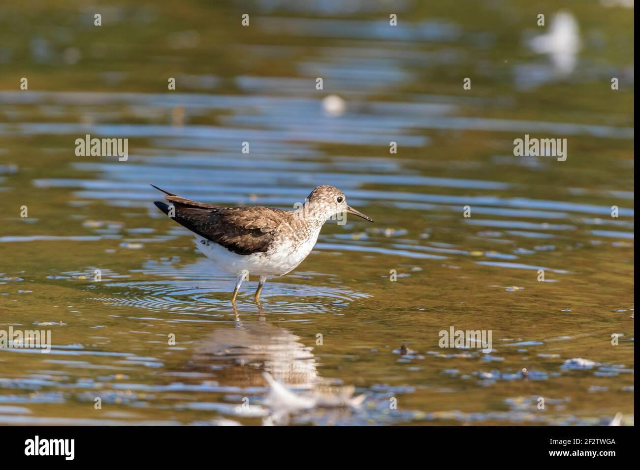 00966-00409 Sandpiper solitario (Tringa solitaria) bañándose en el humedal Marion Co. IL Foto de stock