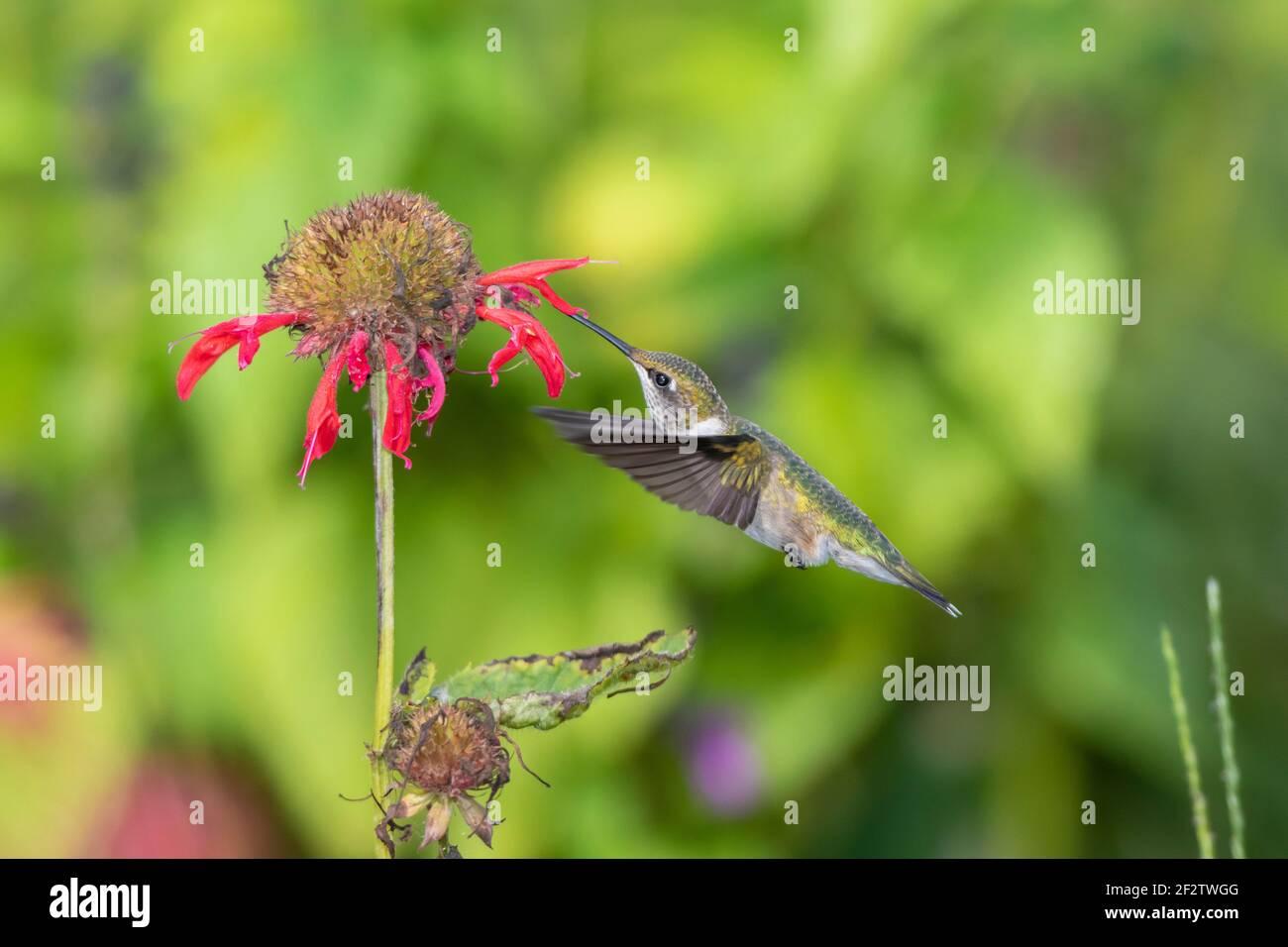 01162-15804 Hummingbird de garganta rubí (Archilochus colubris) en el bálsamo de la abeja roja (Monarda didyma) Marion Co. IL Foto de stock