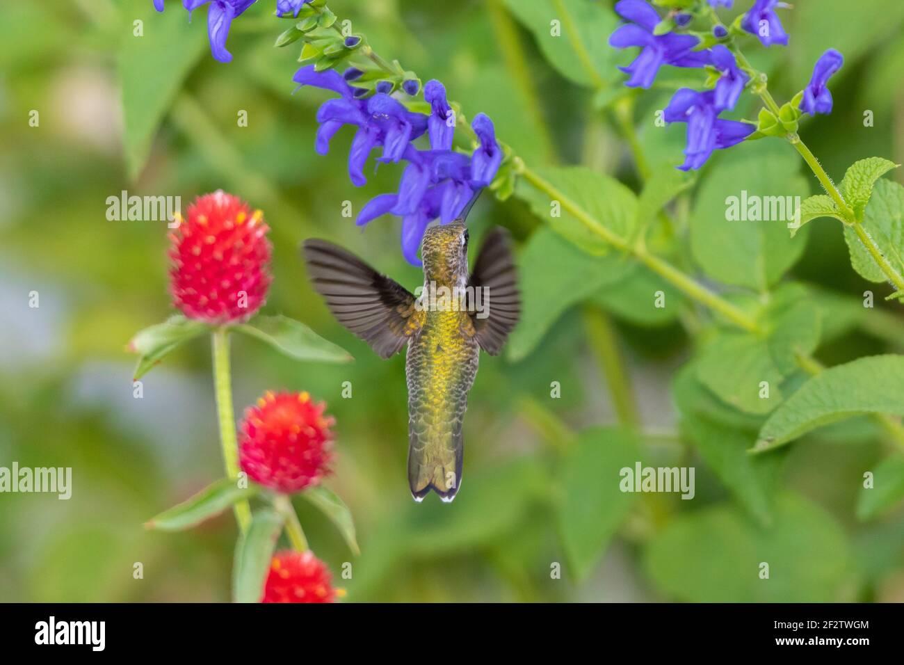 01162-15907 Hummingbird de garganta rubí (Archilochus colubris) en el Blue Ensign Salvia (Salvia guaranitica ' Blue Ensign') Marion Co. IL Foto de stock