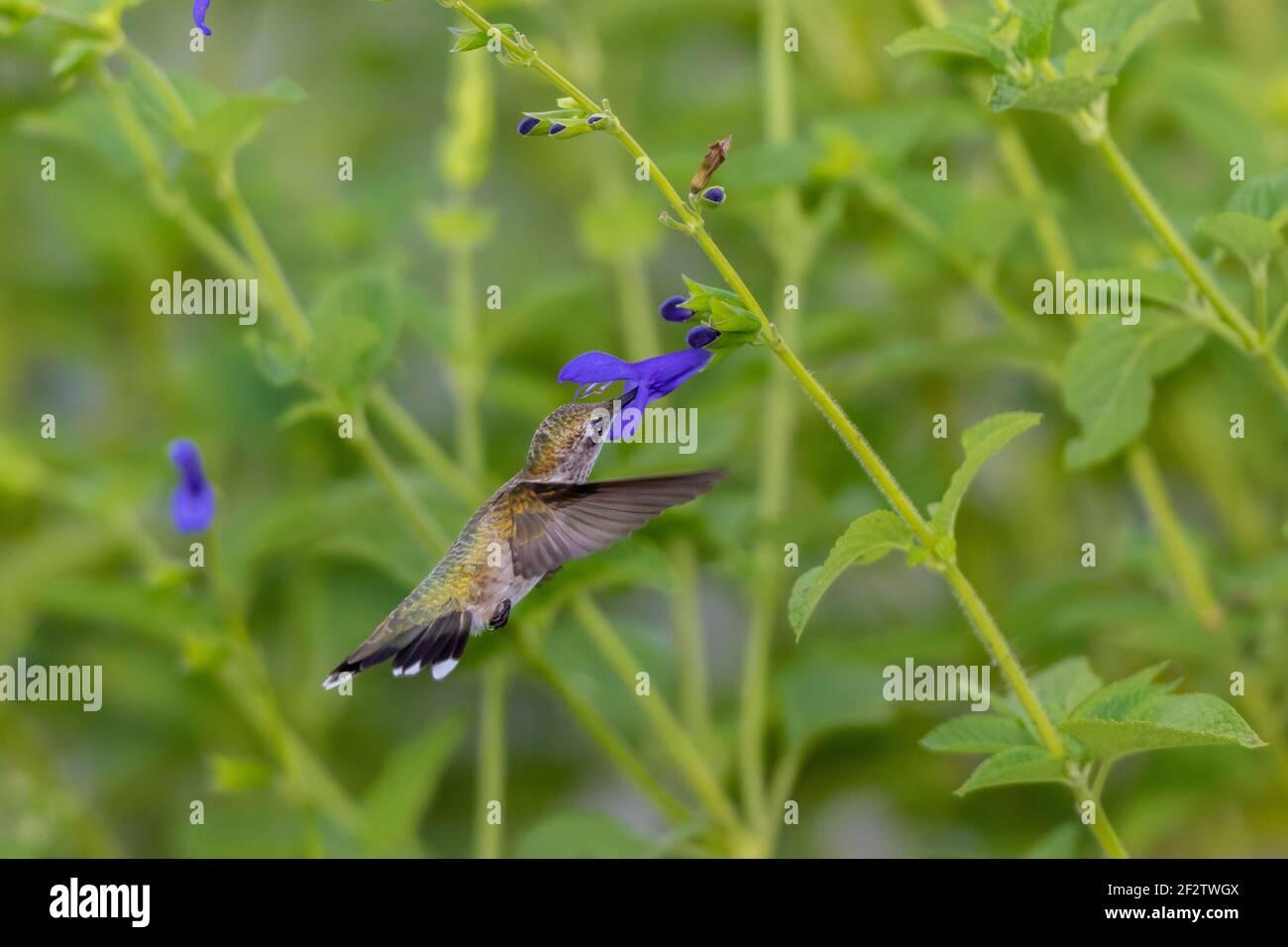 01162-15909 Hummingbird de garganta rubí (Archilochus colubris) en el Blue Ensign Salvia (Salvia guaranitica ' Blue Ensign') Marion Co. IL Foto de stock