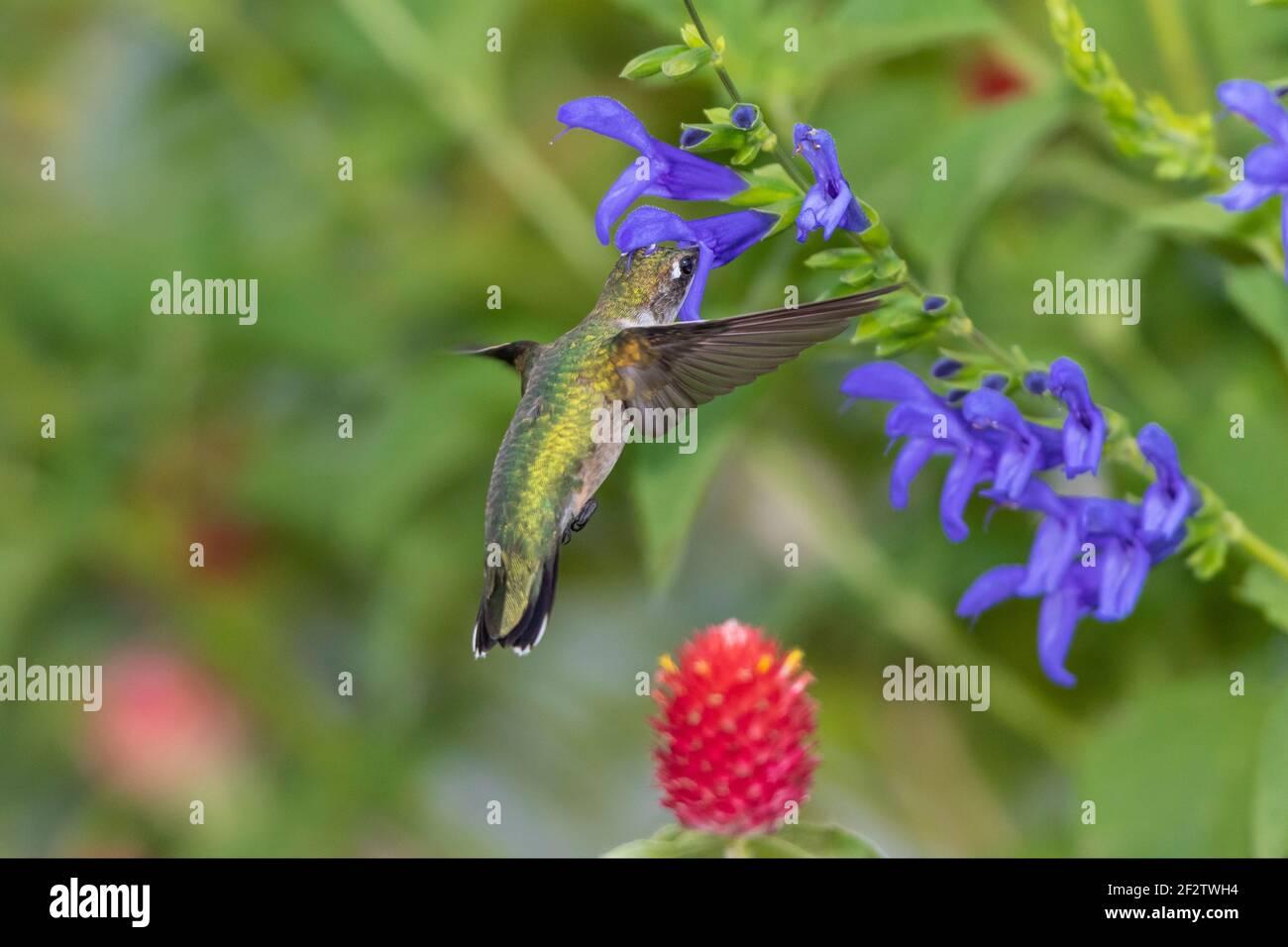 01162-15914 Hummingbird de garganta rubí (Archilochus colubris) en el Blue Ensign Salvia (Salvia guaranitica ' Blue Ensign') Marion Co. IL Foto de stock