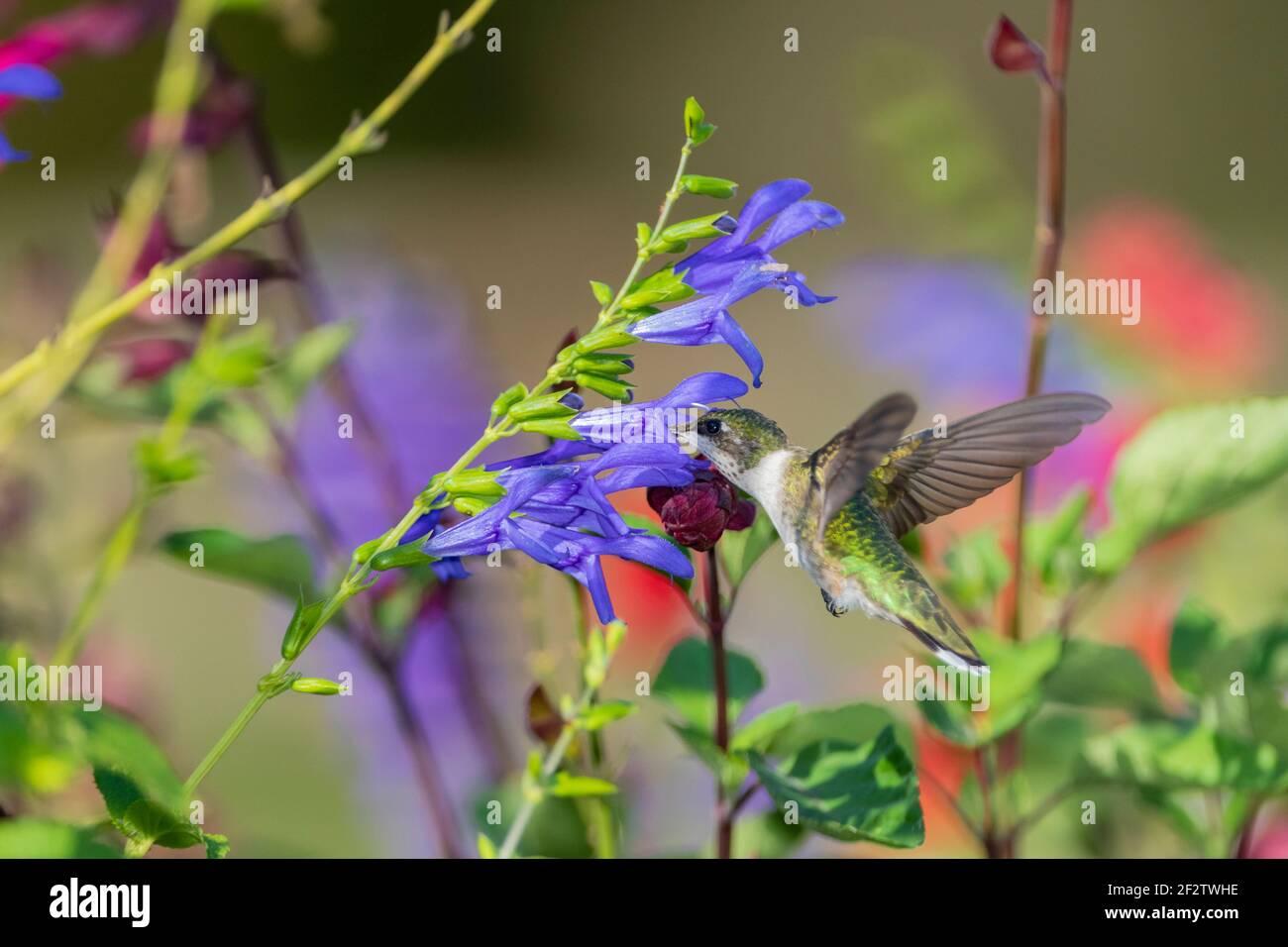 01162-16005 Hummingbird de garganta rubí (Archilochus colubris) en el Blue Ensign Salvia (Salvia guaranitica ' Blue Ensign') Marion Co. IL Foto de stock