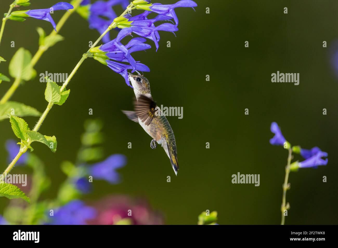 01162-16012 Hummingbird de garganta rubí (Archilochus colubris) en el Blue Ensign Salvia (Salvia guaranitica ' Blue Ensign') Marion Co. IL Foto de stock