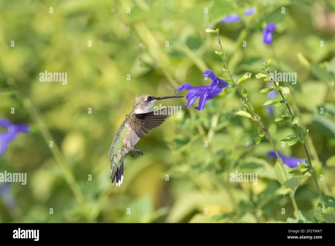 01162-16020 Hummingbird de garganta rubí (Archilochus colubris) en el Blue Ensign Salvia (Salvia guaranitica ' Blue Ensign') Marion Co. IL Foto de stock