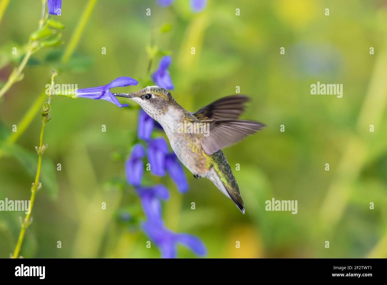 01162-16214 Hummingbird de garganta rubí (Archilochus colubris) en el Blue Ensign Salvia (Salvia guaranitica ' Blue Ensign') Marion Co. IL Foto de stock
