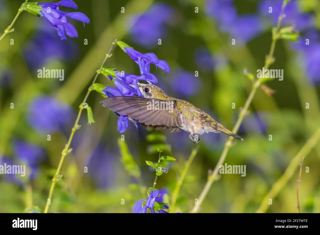 01162-16306 Hummingbird de garganta rubí (Archilochus colubris) en el Blue Ensign Salvia (Salvia guaranitica ' Blue Ensign') Marion Co. IL Foto de stock