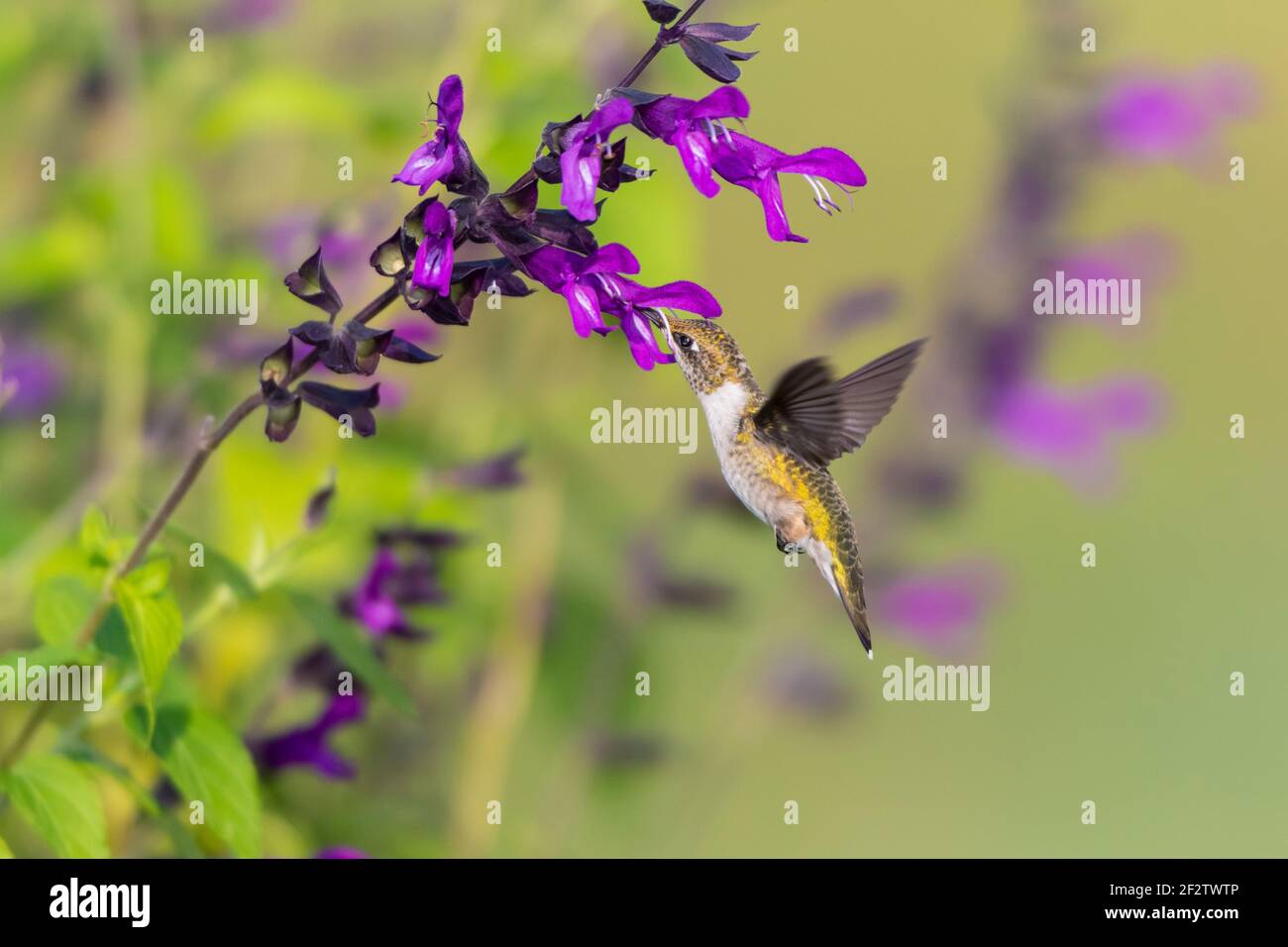 01162-16318 Hummingbird de garganta rubí (Archilochus colubris) en Salvia 'Purple and Bloom' (Salvia guaranitica) Marion Co. IL Foto de stock