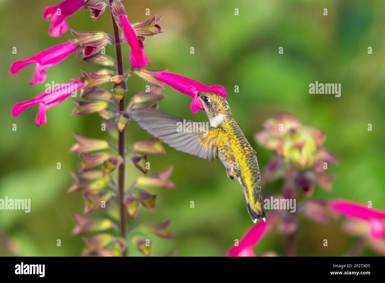 01162-16616 Hummingbird de garganta rubí (Archilochus colubris) en Salvia Fuchsia 'Rockin Fuchsia' (Salvia hybrid) Marion Co. IL Foto de stock