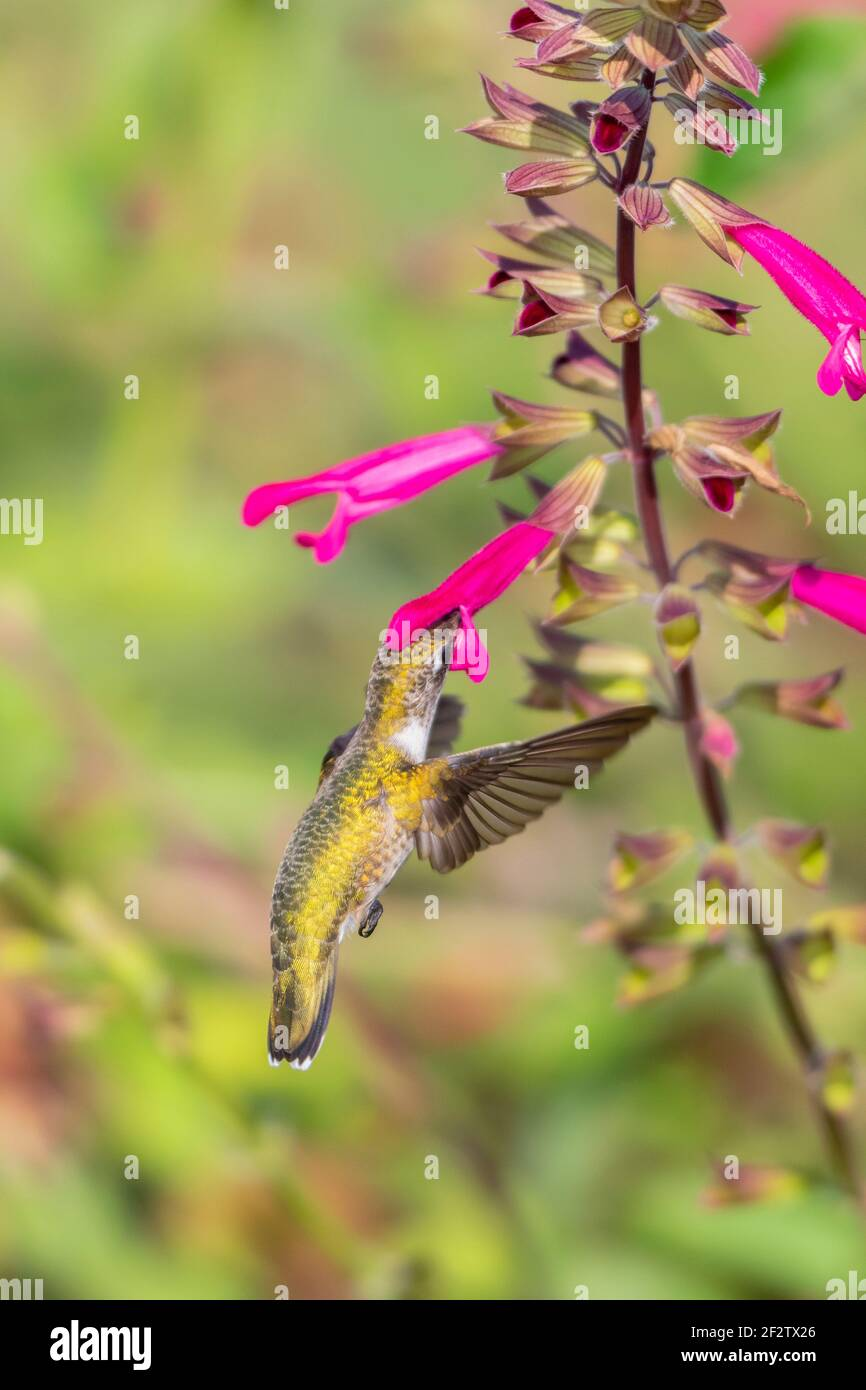 01162-16717 Hummingbird de garganta rubí (Archilochus colubris) en Salvia Fuchsia 'Rockin Fuchsia' (Salvia hybrid) Marion Co. IL Foto de stock