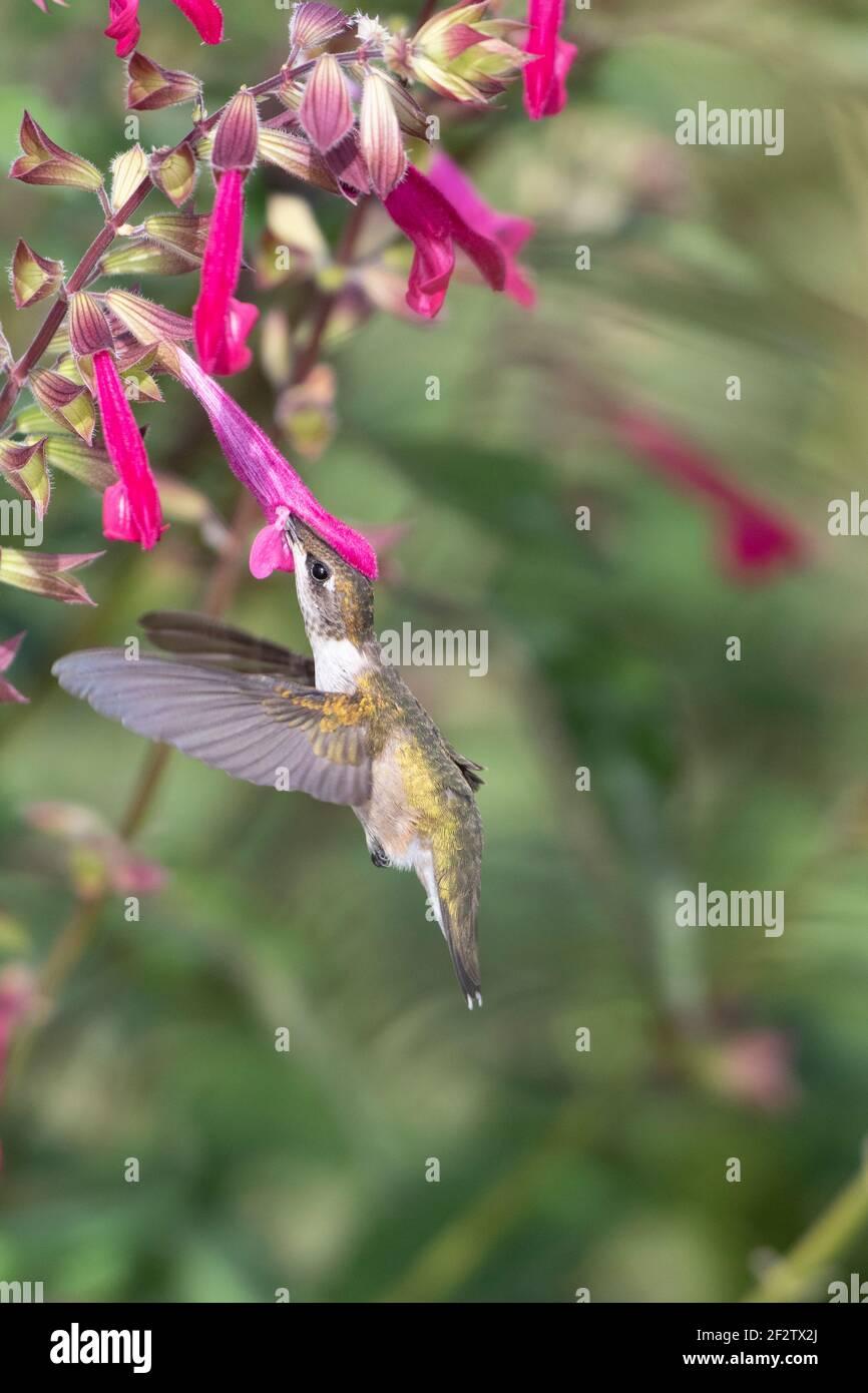 01162-16819 Hummingbird de garganta rubí (Archilochus colubris) en Salvia Fuchsia 'Rockin Fuchsia' (Salvia hybrid) Marion Co. IL Foto de stock
