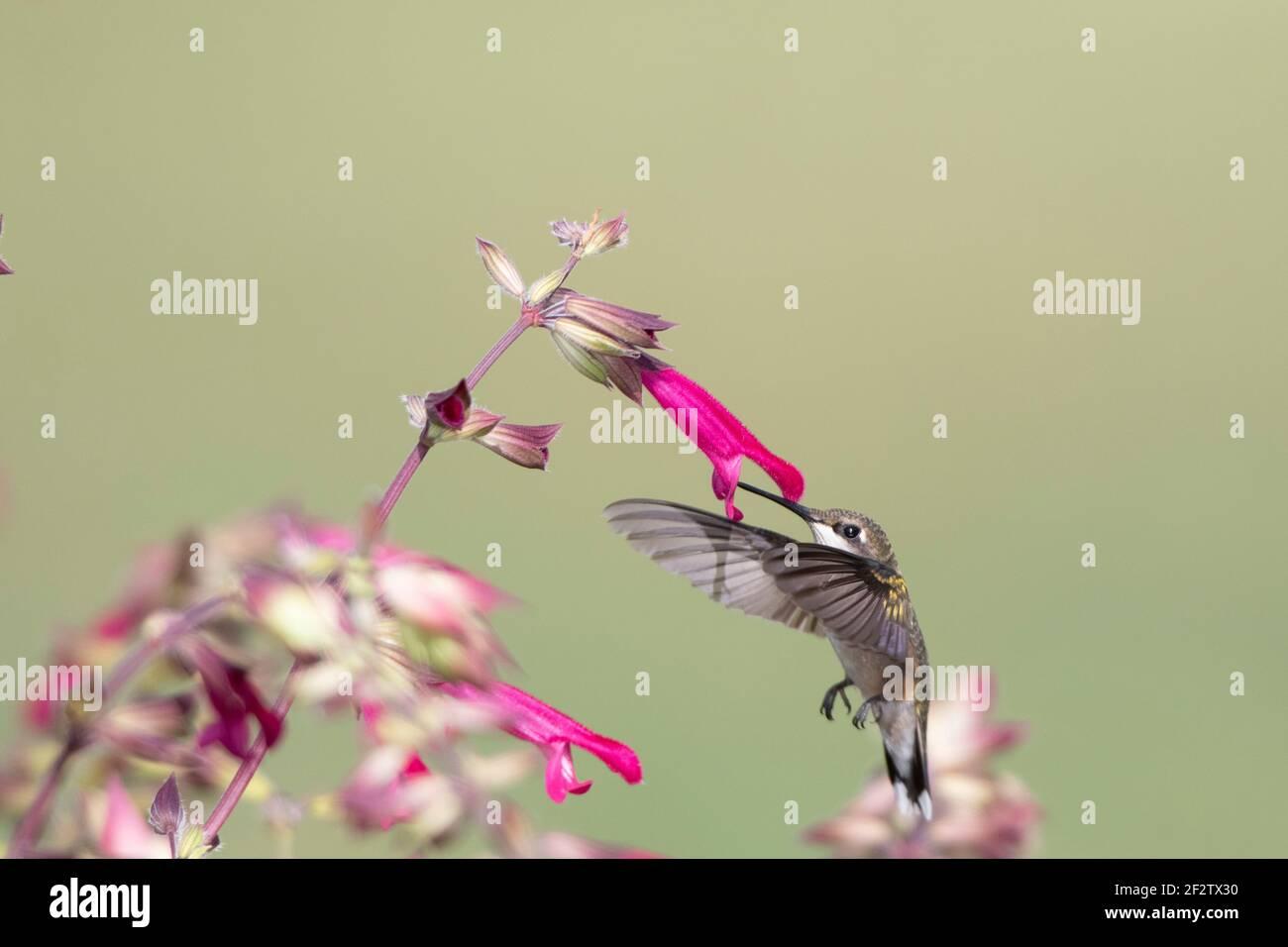 01162-16906 Hummingbird de garganta rubí (Archilochus colubris) en Salvia Fuchsia 'Rockin Fuchsia' (Salvia hybrid) Marion Co. IL Foto de stock