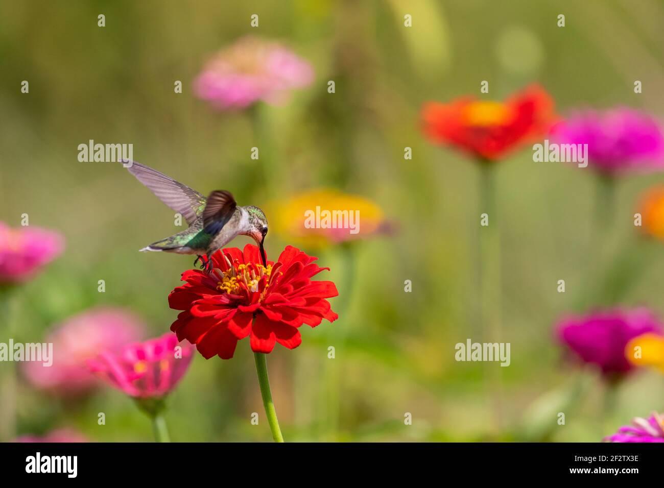 01162-17012 Hummingbird de garganta rubí (Archilochus colubris) en Zinnias Union Co. IL Foto de stock