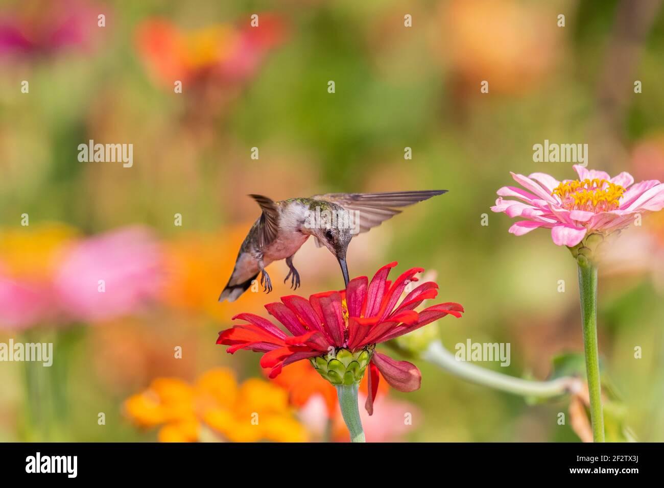 01162-17018 Hummingbird de garganta rubí (Archilochus colubris) en Zinnias Union Co. IL Foto de stock