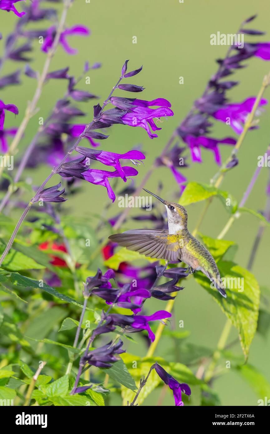 01162-17313 Hummingbird de garganta rubí (Archilochus colubris) en Salvia 'Purple and Bloom' (Salvia guaranitica) Marion Co. IL Foto de stock