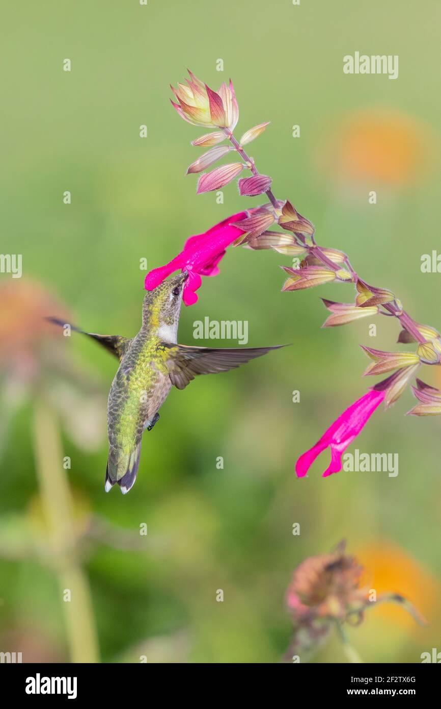 01162-17318 Hummingbird de garganta rubí (Archilochus colubris) en Salvia Fuchsia 'Rockin Fuchsia' (Salvia hybrid) Marion Co. IL Foto de stock