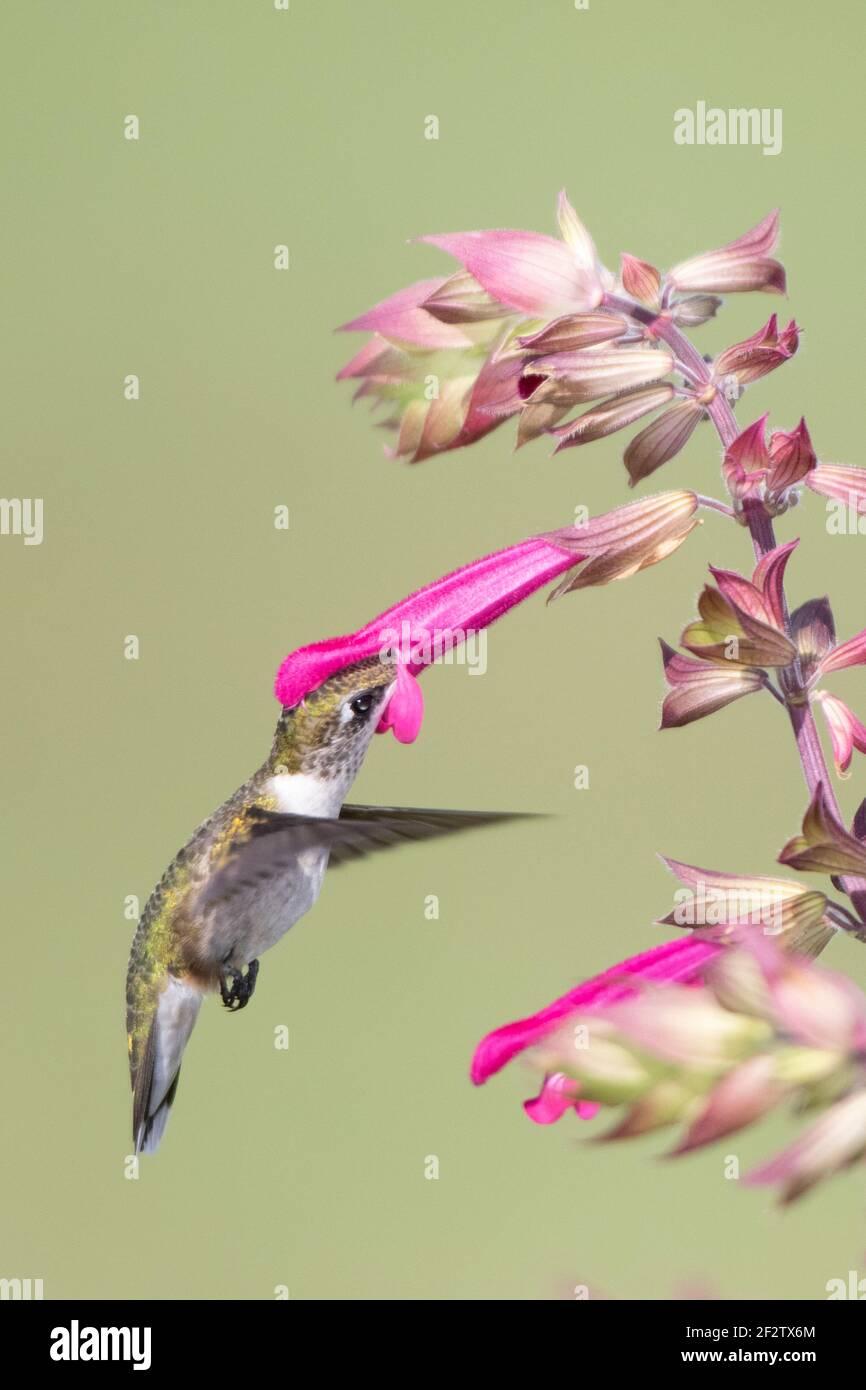 01162-17320 Hummingbird de garganta rubí (Archilochus colubris) en Salvia Fuchsia 'Rockin Fuchsia' (Salvia hybrid) Marion Co. IL Foto de stock