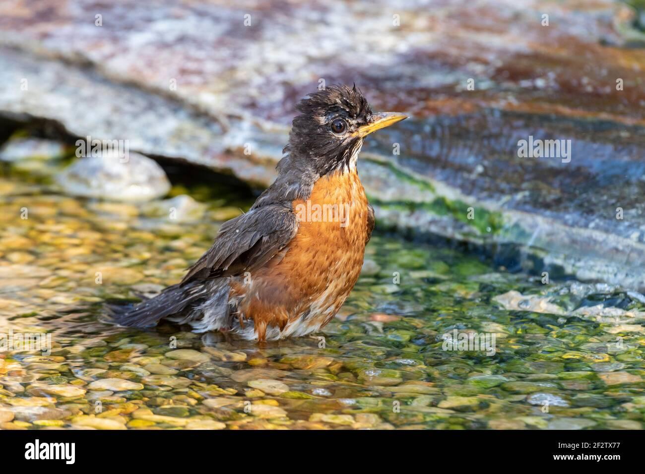 01382-05409 American Robin (Turdus migratorius) baño Marion Co. IL Foto de stock