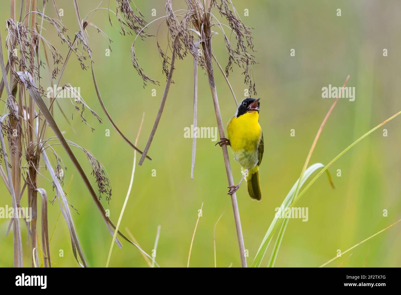 01490-00407 común Yellowthroat (Geothlypis trichas) macho cantando en la pradera Marion Co. IL Foto de stock