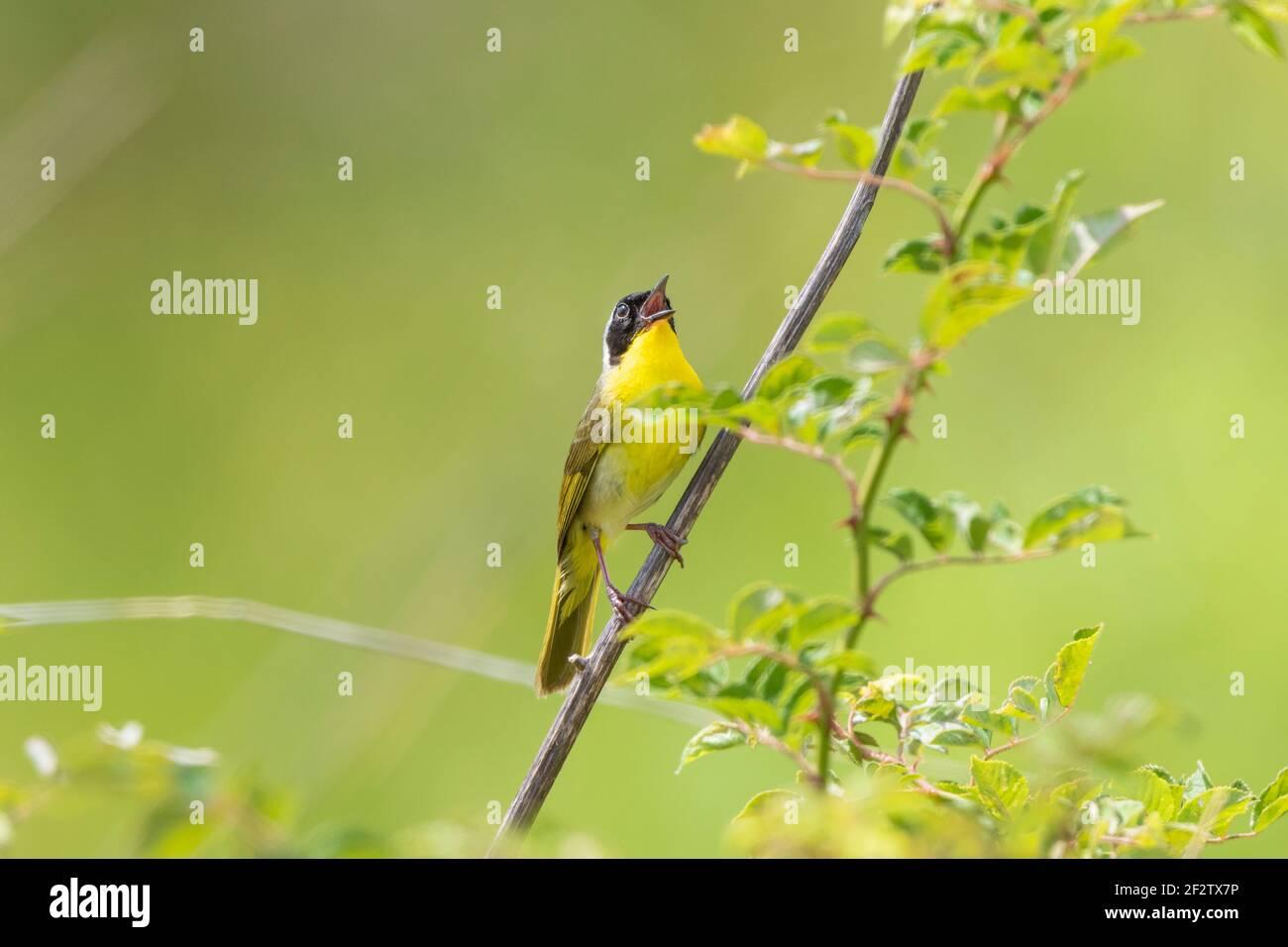 01490-00414 común Yellowthroat (Geothlypis trichas) macho cantando en la pradera Marion Co. IL Foto de stock