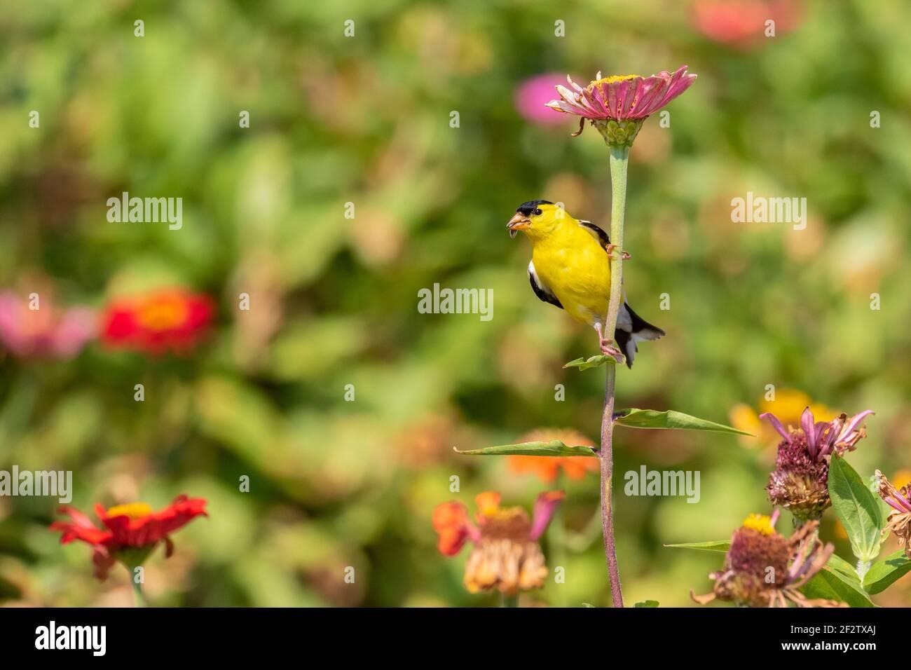 01640-16704 American Goldfinch (spinus tristis) macho comiendo semillas de Zinnia Union Co. IL Foto de stock