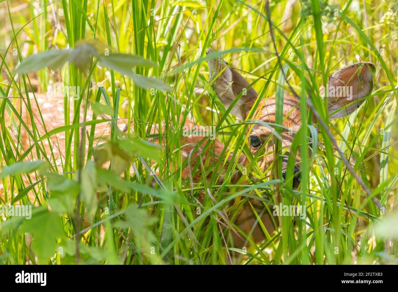 01982-05213 ciervos de cola blanca (Odocoileus virginianus) se esconden en la pradera Marion Co. IL Foto de stock