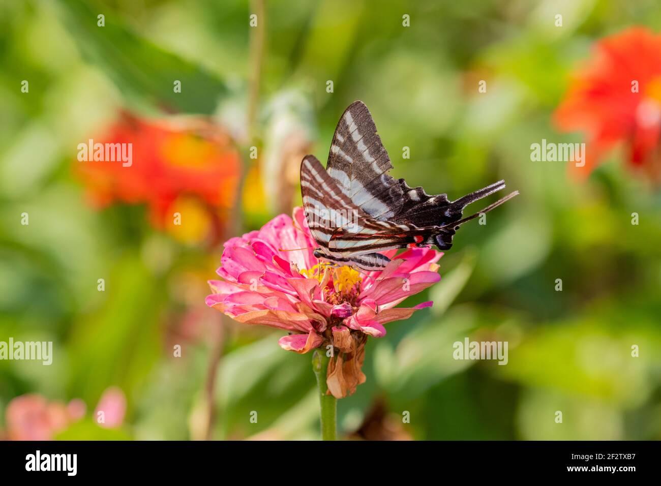 03006-00317 Zebra Swallowtail (Protographium marcellus) en Zinnia Union Co. IL Foto de stock