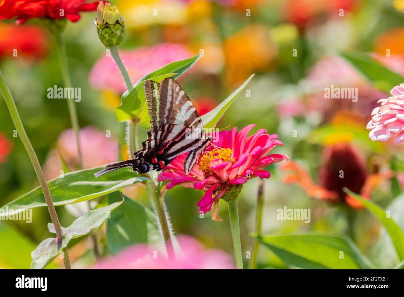 03006-00412 Zebra Swallowtail (Protographium marcellus) en Zinnia Union Co. IL Foto de stock