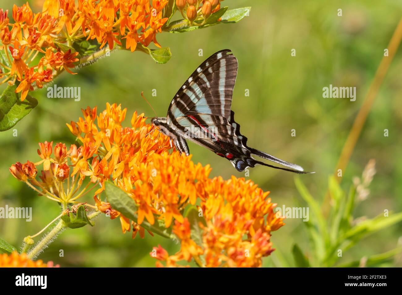 03006-00701 Zebra Swallowtail (Protographium marcellus) en la Mariposa Milkweed (Asclepias tuberosa) Marion Co. IL Foto de stock
